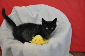 black girl kitten with duck