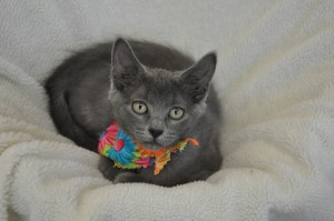 grey kitten in fleece